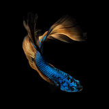 Betta fish,Siamese fighting fish in movement Royalty Free Stock Photos