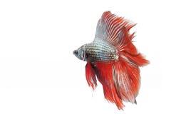 Betta fish Stock Image
