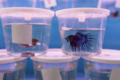 Betta Fish Stock Photography