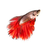 Betta Fish Siamese Fighting with red tail. Betta Fish Siamese Fighting Fish Half Moon Red tail Royalty Free Stock Photos