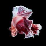 Betta fish Stock Photos