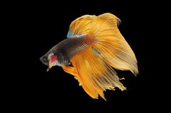 Betta fish, siamese fighting fish, betta splendens isolated on black background, fish on black background, fish fighting, Multi co stock image
