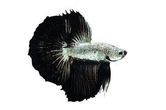 Betta fish Silver black Dragon Royalty Free Stock Images