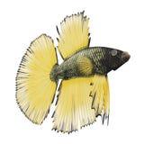 Betta Fish sur un blanc illustration 3D Images libres de droits