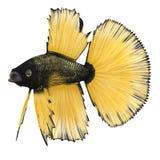 Betta Fish sur un blanc illustration 3D Image libre de droits
