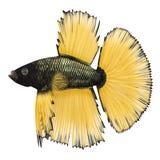 Betta Fish sur un blanc illustration 3D Photo libre de droits