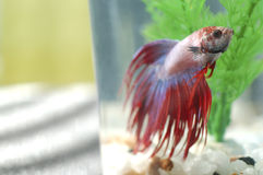 Betta Fish in Tank Royalty Free Stock Photos
