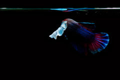 betta fish Royalty Free Stock Image
