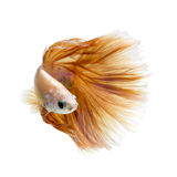 Betta fish on white background Royalty Free Stock Photo