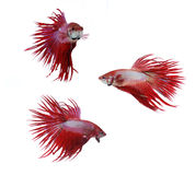 Betta fishes, siamese fighting fish isolated on wh