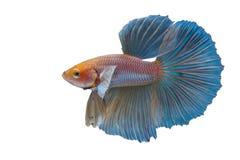 Betta fisk Arkivfoton