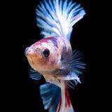 Betta fisk Royaltyfri Foto