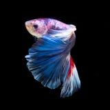 Betta fisk Arkivbild