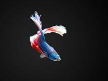 Betta fisk fotografering för bildbyråer