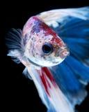Betta fisk Fånga det rörande ögonblicket av röd-blått den siamese fightien Royaltyfri Fotografi