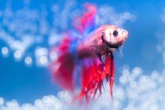 Betta fisk på ljus - blå bakgrund Royaltyfri Bild