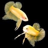 Betta fisk på svart Arkivbild
