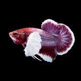 Betta fisk på svart Arkivfoton