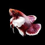 Betta fisk på svart Royaltyfri Foto