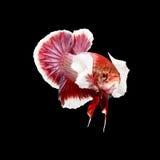 Betta fisk på svart Royaltyfria Bilder