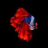 Betta fisk, Siamese stridighetfisk i rörelse Arkivfoto