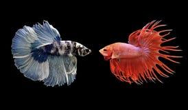 Betta fisk, siamese stridighetfisk som isoleras på svart Royaltyfri Fotografi
