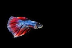 Betta fisk som isoleras på svart bakgrund Fotografering för Bildbyråer