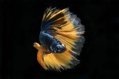 Betta het vechten vissen Stock Afbeeldingen