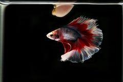 Betta paznokcie i ryba Syjamska bój ryba na czarnym backg obraz stock