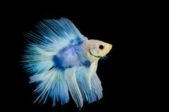 Betta pet fish Royalty Free Stock Photo