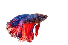 Betta ryba Fotografia Royalty Free