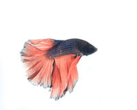 Betta ryba Fotografia Stock
