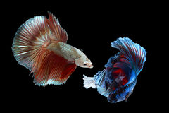 Betta ryba Obraz Royalty Free