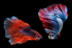 Betta ryba Obrazy Royalty Free