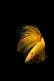 Betta ryba Zdjęcia Stock