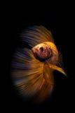 Betta ryba Zdjęcie Stock