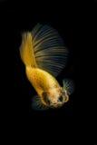 Betta ryba Zdjęcia Royalty Free
