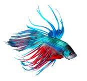 Betta ryba Kolorowa smok ryba odizolowywająca na bielu Zdjęcie Stock