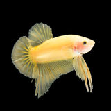 Betta ryba na czerni Obrazy Royalty Free