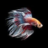 Betta ryba ob czerń Obrazy Royalty Free