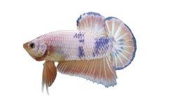 Betta ryba odizolowywająca na bielu Obrazy Royalty Free