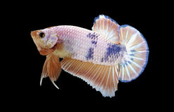 Betta ryba odizolowywająca na czerni Fotografia Stock