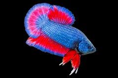Betta ryba odizolowywająca na czerni Obraz Royalty Free