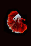 Betta ryba, siamese bój ryba ruch Fotografia Royalty Free