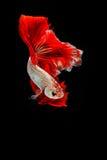 Betta ryba, siamese bój ryba ruch Obrazy Royalty Free