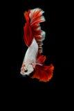 Betta ryba, siamese bój ryba ruch Obraz Stock