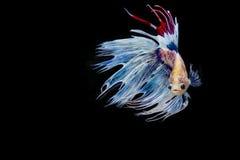 Betta ryba, siamese bój ryba ruch Zdjęcia Royalty Free
