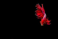 Betta ryba, siamese bój ryba ruch Obrazy Stock