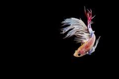 Betta ryba, siamese bój ryba ruch Obraz Royalty Free