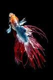 Betta ryba, Syjamska bój ryba zdjęcia royalty free
